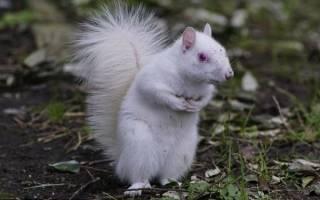 В парке Уилтшира нашли и выходили бельчонка-альбиноса