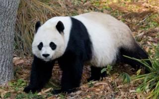 Почему хищные большие панды едят бамбук