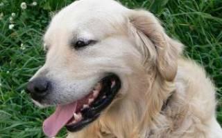 Особенности содержания золотого ретривера: описание породы и характер, правила ухода за собаками