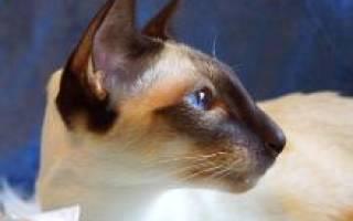 Фото сиамской кошки с описанием