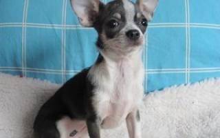 Как выбрать собаку чихуахуа и ухаживать за ней, цена щенка, его фото