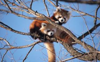 Красные панды сбежали из вольера в зоопарке в Сиэтле