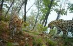Описание леопарда: где живет, сколько весит, обитание разных популяций и внешний вид барса