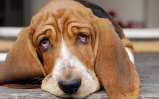 Почему у собаки красные белки глаз, что делать