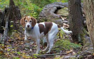 Почему собака бегает за своим хвостом: причины