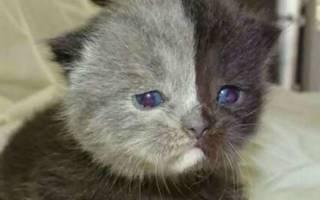 Котёнок с «двумя лицами»стал самой прекрасной кошкой на Земле
