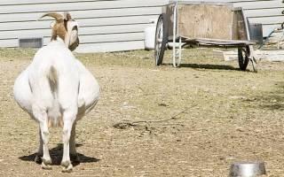 Сроки беременности у козы: сколько длится, методы определения, уход