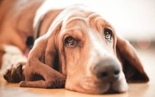 Депрессия у собаки