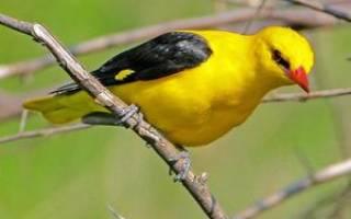 Иволга обыкновенная: описание внешнего вида с фото и среда обитания птиц, образ жизни и питание, размножение