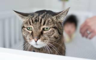 Хитрости, на которые идут кошки, чтобы управлять своим хозяином