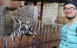 Каирский зоопарк выдавал ослов за зебр
