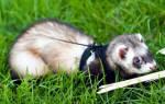 Хорьки как домашние животные: плюсы и минусы, правила выгула, обустройства пространства для жизни питомца