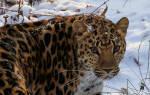 Ветеринары займутся тяжелораненым дальневосточным леопардом в Приморье