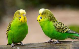 Сколько живут в домашних условиях волнистые попугаи, как продлить срок их жизни