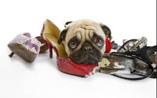 Собаки, которые точно будут портить вещи в доме