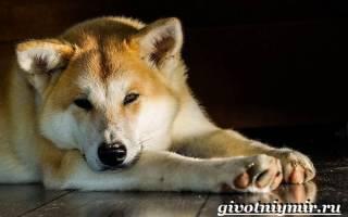 Особенности щенков акита ину: цена в питомниках Москвы, особенности воспитания и ухода