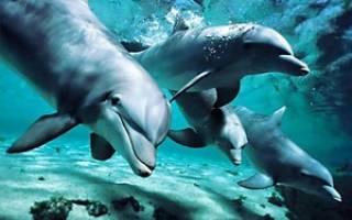Кто такие дельфины — рыбы или млекопитающие? Описание животного