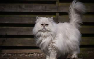 Персидский кот: особенности породы рыжих и белых персидских котят, фото