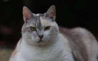 Ожирение у кошки — что делать