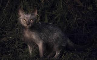 Самая страшная кошка в мире — фото и описание