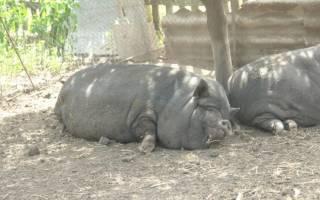 Ниф-Ниф и другие: вьетнамские свиньи прижились в ереванском зоопарке