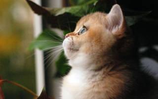 Содержание золотой шиншиллы: особенности, уход за британским котом, фото кошки