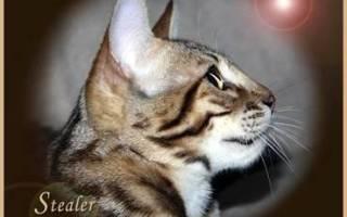 Бенгальская кошка как выбрать котенка: особенности