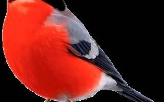 Снегирь: род этой птицы и их внешний вид, перелётные или оседлые, размножение и среда обитания