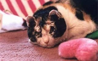 Как кормить кота после того, как его кастрировали: правильное питание в домашних условиях