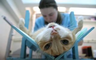 Кастрация котов: что такое и как это происходит, плюсы и минусы данной процедуры