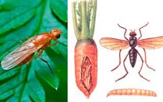 Морковная муха: как от нее избавиться с помощью народных и других средств, методы профилактики, откуда берется, какой вред наносит