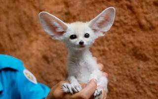 Ушастая лиса — красивое животное с большими ушами и своеобразным норовом