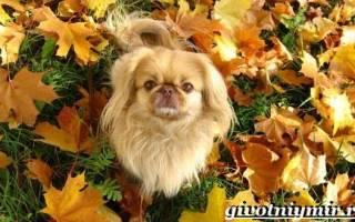 Пекинесы и их описание: фото, цена и особенности характера собак пикинесок