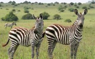 Какого цвета зебра, где обитает, строение и повадки зебры