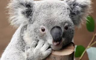 Где живут, сколько спят и чем питаются сумчатые медведи — коалы