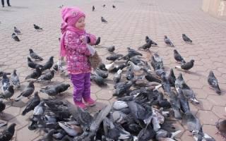 Почему нельзя кормить голубей на улице