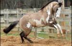 Названия мастей лошадей (фото): каурый, вороной, игреневый