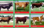 Выбор породы коров для разведения: выбор молочных коров, названия коров с фото и описанием в России
