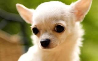 Порода собак длиношерстной чихуахуа: описание, уход, цена и фото щенков