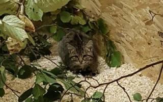 Котята дикой шотландской кошки были спасены в горах