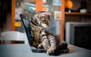 Почему кошка мешает работать за компьютером: четыре причины