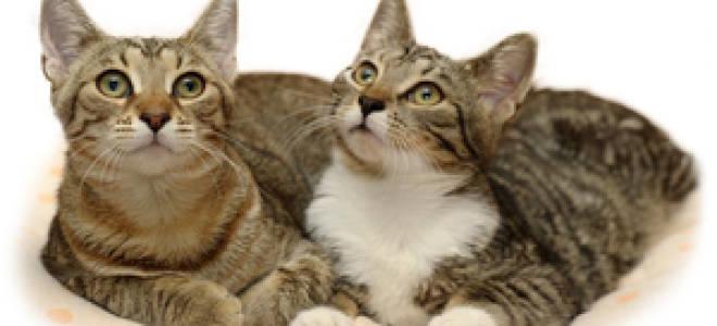 Поведение кошек во время течки: в каком возрасте кошка начинает просить кота, как избежать потомства