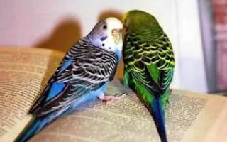Как в домашних условиях ухаживать за волнистым попугаем: содержание, кормление и уход