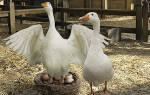 Инкубация гусиных яиц в домашних условиях — отбор, подготовка, процесс и видео