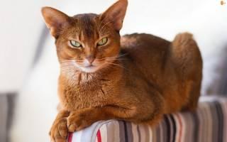 Самая красивая кошка в мире — фото и описание