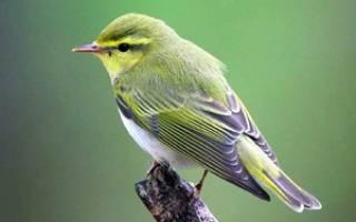Пеночка: описание птицы, фото, питание и размножение, среда обитания и основные виды