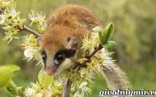 Семейство соневых: виды этих зверьков, немного об особенности жизни грызуна сони в природе и домашних условиях