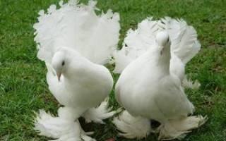 Можно ли покупать голубей и как ухаживать за ними, покупка птиц на зооринке