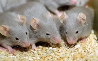 Как избавиться от мышей в частном доме или в квартире навсегда, способы борьбы в домашних условиях