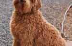 Лабропудель австралийский: описание породы, характеристика и фото лабрадуделя